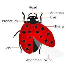 ladybug life cycle u2013 kids growing strong
