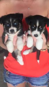 4 australian shepherd x dalmation australian shepherd mix puppies 10 week old male puppies for