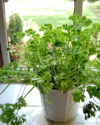 dreading winter grow parsley and other crops indoors hobby farms