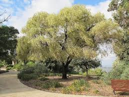 weeping variegated peppermint tree picture of park