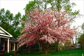 ornamental weeping cherry tree archives dugas landscape