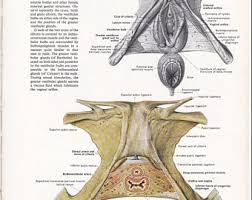 Perineum Anatomy Female Perineum Etsy