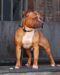 american pit bull terrier life expectancy 25 best staffordshire bull terriers ideas on pinterest