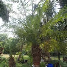 common palm tree names palms of the dougherty garden