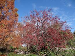 Kansas City Botanical Gardens by Berried Trees Enliven The Late Fall Landscape Powell Gardens