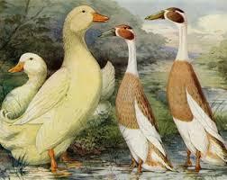 pekin duck etsy