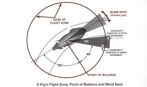 flight zone for a pig animal science pinterest livestock and