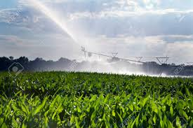 irrigated corn a field of corn is being irrigated in the late day sun stock photo