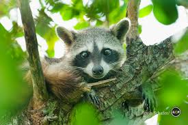 on the trail of the pygmy raccoon u2013 national geographic society