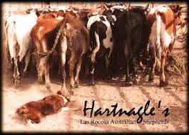 australian shepherd 60 minutes las rocosa australian shepherds