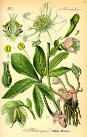 Plants That Need No Light Hellebore Wikipedia