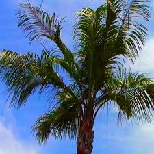 buy palm trees for sale at the lowest prices at ty ty nursery