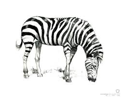cute zebra coloring pages pictures imagixs 873555 coloring pages