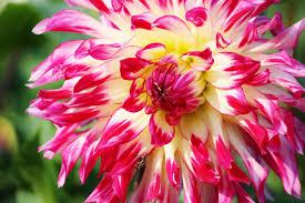 pink yellow white flower free stock photo