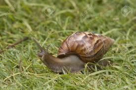 close up of snail in the grass snail has a beautifully patterned