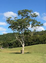 protecting our paddock trees your say tweed