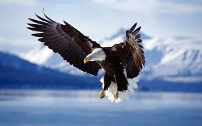 stellers sea eagle wallpapers download stellers sea eagle wallpaper u0026 background free images