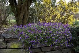 giardini rocciosi in ombra piante perenni l aubretia cruciferae adatta per giardini