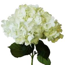 wholesale hydrangeas hydrangea flowers where in the philippines can we buy this my