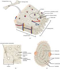 animal primary tissues boundless biology