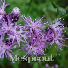 2017 sale garden flower seeds saussurea japonicaflowering tree