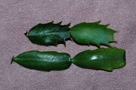 difference between a thanksgiving cactus and a cactus