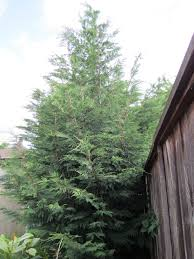 my garden trees 2 leyland cypress portland tree tour
