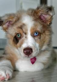 australian shepherd eyes 20 australian shepherd puppies that are so adorable you might just