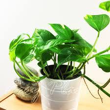 Office Plants by Garden Golden Pothos Walmart Houseplants Best Office Plants