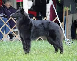 belgian sheepdog groenendael rescue ch blackforest u0027s bright star u2013 roxy u2013 blackforest belgian