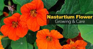 nasturtium flower growing nasturtiums and how to care for the nasturtium flower