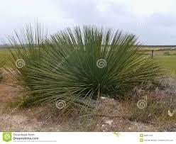 native plants to australia yacka royalty free stock images image 36827849