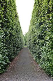 native hedging plants uk container grown beech hedge plants fagus sylvatica