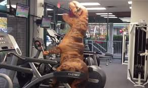 T Rex Costume Watch Gym Nut Dons Giant Tyrannosaurus Rex Costume For Hilarious
