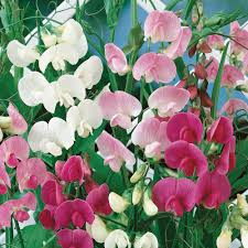 seeding sweet peas dirt simple