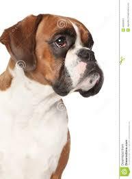 boxer dog white boxer dog on isolated white background stock photo image 48829903