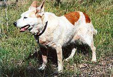 australian shepherd red heeler mix australian cattle dog wikipedia