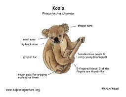 koalas lessons tes teach
