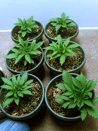 how to grow cannabis with coco coir plus mini tutorial on
