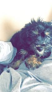 affenpinscher hawaii view ad poodle toy yorkshire terrier mix puppy for sale