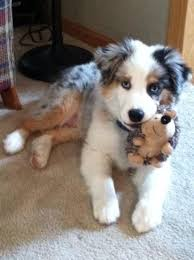 australian shepherd with tail for sale 199 best images about puppies on pinterest aussie puppies