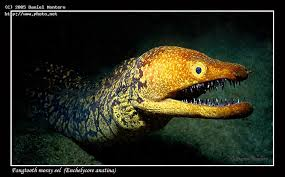 Seeking Eel West Fangtooth Moray Eel Enchelycore Anatina Taken In The