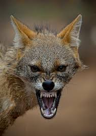 187 best mask inspiration images on pinterest brown scary teddy photograph furious jackal by drhiteshj on 500px beautiful