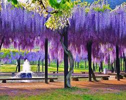 wisteria meaning wisteria 01 jpg