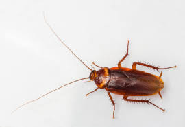 Baby Roaches In Bathroom Busting Myths The Baby Cockroach
