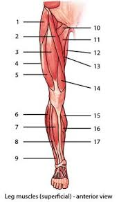 Anatomy And Physiology The Muscular System Anatomy Practice Labeling Muscles Of The Arm Google Search