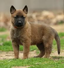 belgian sheepdog brown belgian malinois puppies for sale