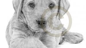 puppy pencil drawings drawing pencil