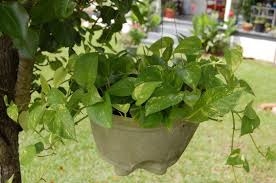 plants native to hawaii 10 amazing air purifying survival plants prepper u0027s will