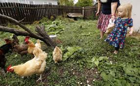 Backyard Chicken Com Backyard Chicken Trend Leads To More Disease Infections Iowa